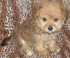 husky pomeranian mix for sale uk puppies on