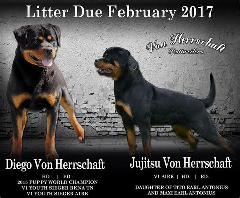 rottweiler puppies for sale vic rottweiler puppies for sale 2016 dogs our friends photo