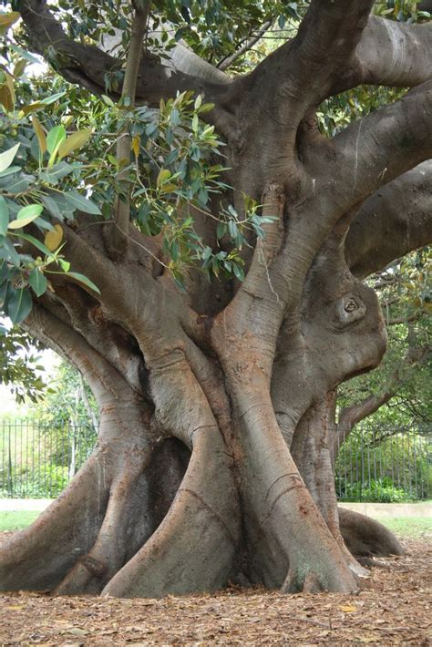 sydney trees 2531 best images about trees and forest on