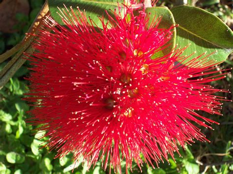 images of flowers red pohutukawa flower nz free stock photo public domain