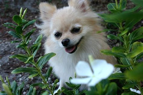 pomeranian nature pomeranian puppy in nature with white pretty flowers jpg