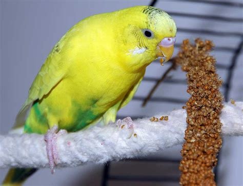 in memory of my first parakeet