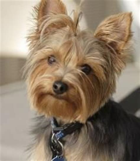 are yorkies with other dogs the world s catalog of ideas
