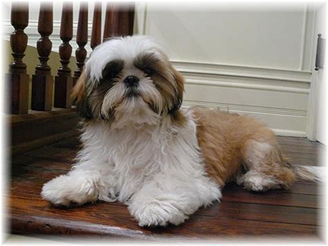 shih tzu breeders in ga ga shih tzu shih tzu puppies for sale in fl al tn