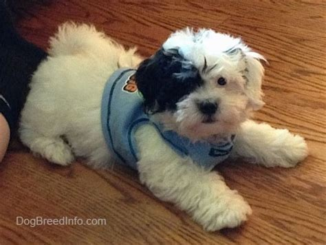 shih tzu bichon haircuts zuchon shichon breed information and pictures