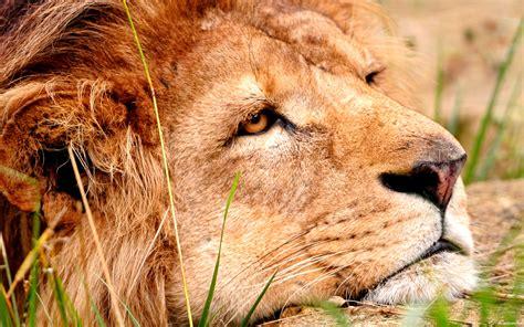 imagenes de leones tristes los leones tristes y los elefantes gru 241 ones somos increibles