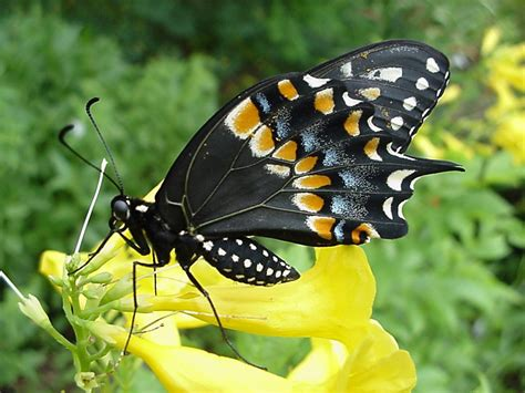 black swallowtail butterfly esperanza black swallowtail butterfly