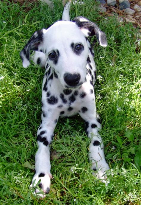 Do Dalmations Shed by Such Dogs Breed Of The Month Dalmatian