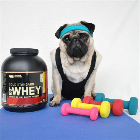 pug working out nutello the pug tries out his favorite fashion trends photos hello nutello