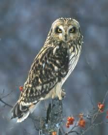 eared owl audubon field guide