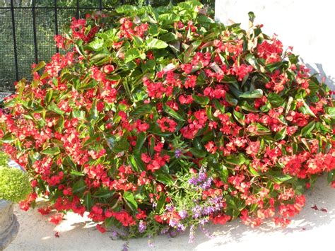 17 best images about begonias on pinterest window boxes red dragon and kitchen windows