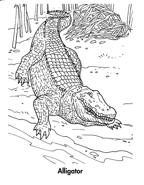 coloring page of american alligator free coloring pages of american alligator