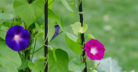 wall climbing plants for your garden trellis guide how to choose the best supports for
