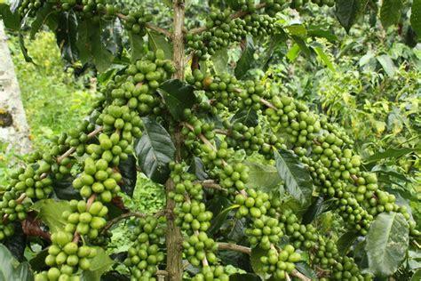 Bibit Terong Hitam iklim dan kondisi tempat penanaman kopi rizal mulyadi