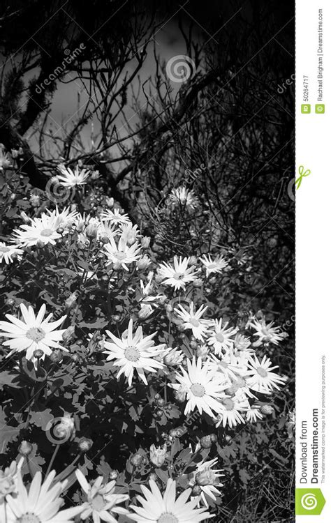 fiori bianchi e neri fiori bianchi e neri immagine stock immagine di inverno