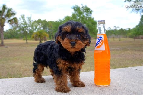 how much does a yorkie poo cost yorkiepoo yorkie poo meet a for sale