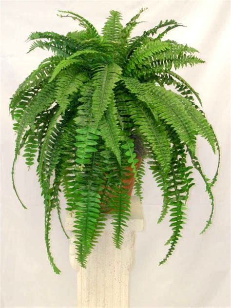 peaceful garden facts and pictures of boston fern