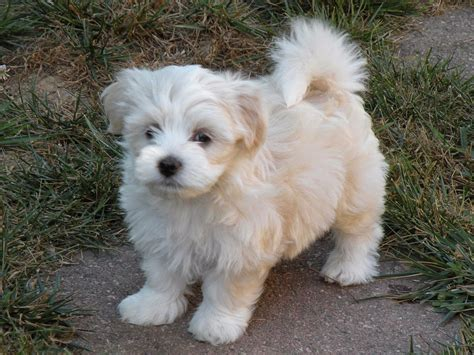 havanese puppy of the jungle havanese dogs the insular breed