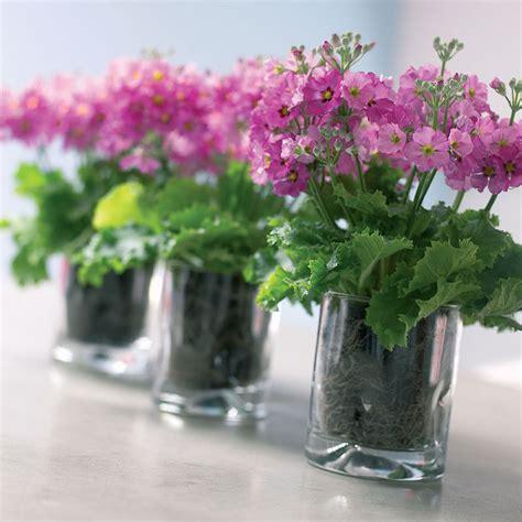 plants flowers fairy primrose