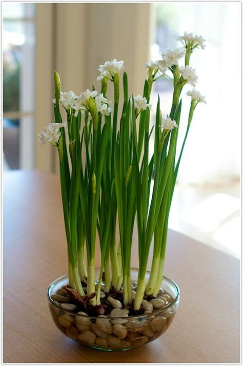 Paperwhite Vase by 77 Best Images About Accessorizing Paper Whites On