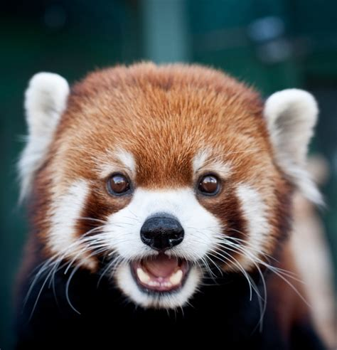 most adorable animals are red pandas the most adorable animals on earth