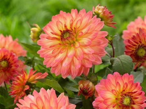 pink dahlias jpeg how to plant dahlias hgtv