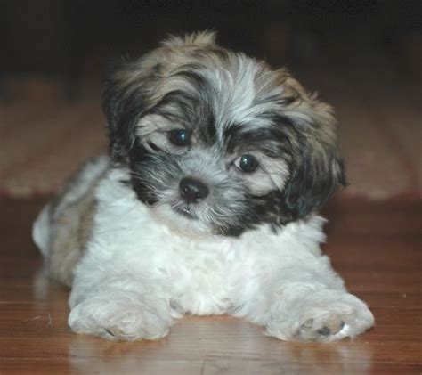 havanese shih tzu mix temperament best 25 shichon puppies for sale ideas on zuchon puppies for sale woks