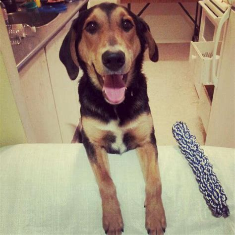 beagle shepherd mix puppy roscoe energetic shepherd collie beagle mix puppy for adoption oasis animal rescue