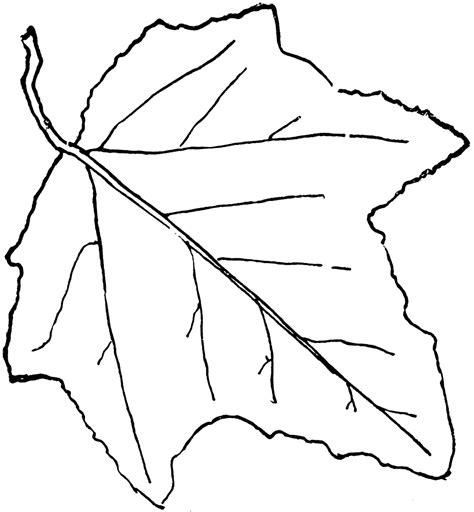 Leaf Outline by Genus Populus L Aspen Poplar Clipart Etc