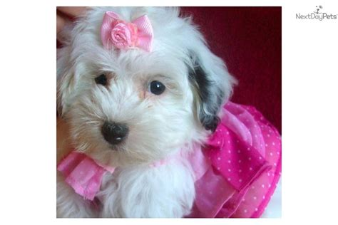 She Shed For Sale Malti Poo Maltipoo Puppy For Sale Near Texoma Texas