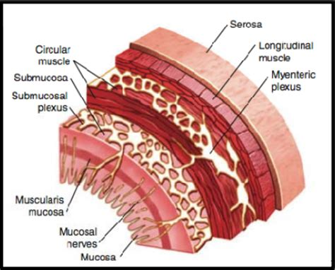 Transverse Section Of Small Intestine by Practical 2 At Of Connecticut Studyblue