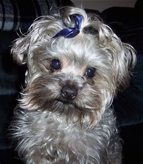 raising a yorkie poo yorkipoo breed pictures 3