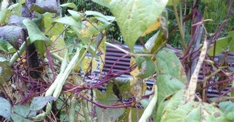 Benih Kacang Panjang Ular menuai benih buncis bulat dari buah matang kebun di