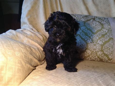 shih poo puppies shih poo puppies crediton pets4homes