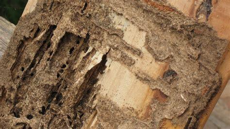 Comment Savoir Si On A Des Termites 1963 by Que Faire Contre Les Termites Quel Est Le Risque Le Point