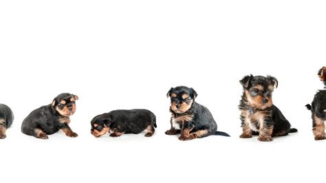 yorkie stages yorkie growth chart and terrier development stages yorkie