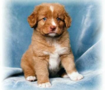 toller puppies toller puppies