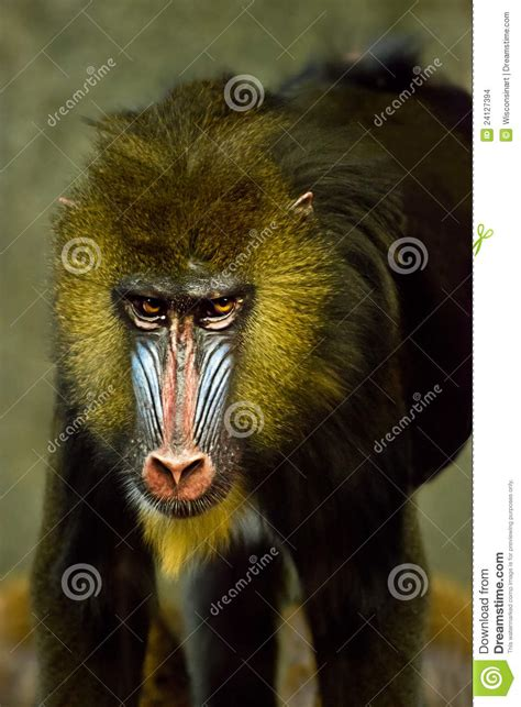 mandrill ape monkey primate baboon animal stock photo image  monkey wisconsinart