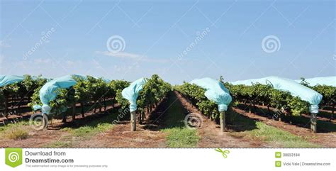 Trellis Plans Free Protective Blue Plastic Covers Over Rows Of Vines Stock