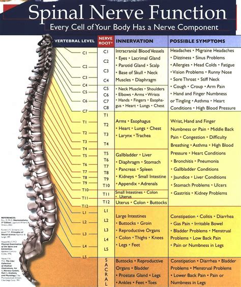 spine and nerve diagram spinal nerve chart