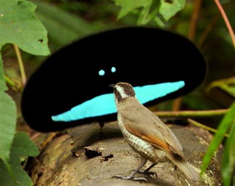 1000 images about bird of paradise paradisaeidae on