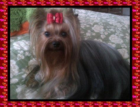 are yorkies color blind yorkie times