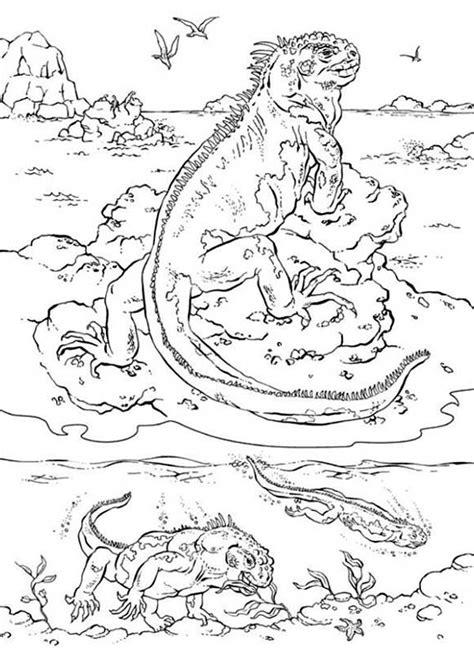 marine iguana coloring page 79 iguana coloring pages alpha male iguana lizard