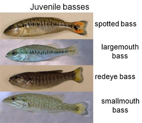rock the boat juvenile large mouth bass vs spotted bass