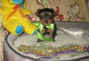 yorkie puppies for sale in scranton pa dogs pennsylvania free classified ads