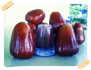 Jual Bibit Jambu Air Bangkok dhelta jual bibit buah info buah jambu dan manfaat bagi