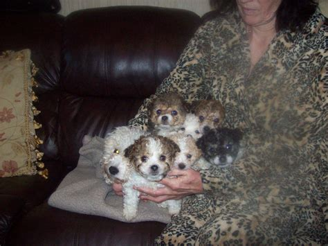 teacup bichon frise puppies for sale teacup puppies for sale uk west midlands breeds picture