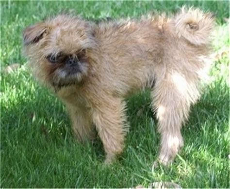 brussels griffon pug mix oskar the brug puppy at 4 months brussels griffon pug hybrid breeds picture