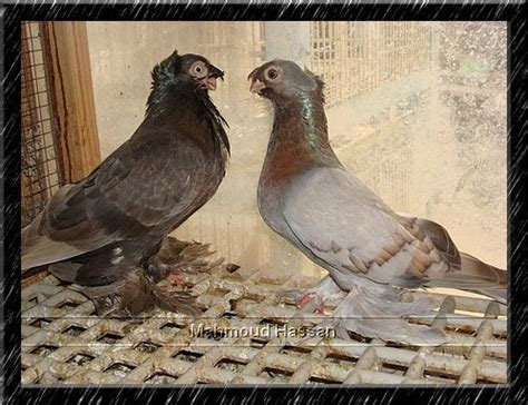 uzbek crack tumbler pigeon pigeons for sale uzbek crack tumbler pair