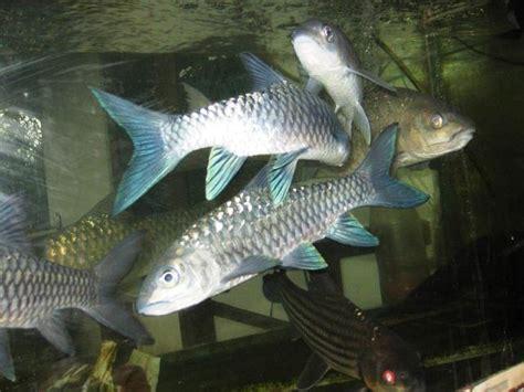 Ikan Kelah Portal Berita Eksklusif Ikan Kelah Dan | 17 best images about ikan kelah on pinterest taman